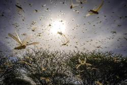 메뚜기 떼의 급습, 기후변화로 번식 유리한 환경돼 아시아 남미 비상